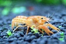 Mexican Orange Dwarf Crayfish (2 crayfish)