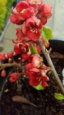 Spring Flowering Light Watering Shrubs & Hedges