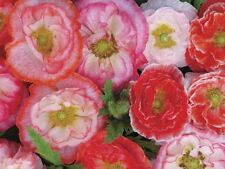 Falling In Love Poppy  double blooms annual 50 +seeds