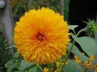 """Sonnenblume """"Teddy""""  (Helianthus annuus) 30 cm hoch, Topf, gelb gefüllt Blüten"""