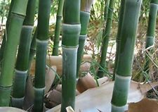 100+ fresh Bamboo Seeds with instructions - Phyllostachys Heteroclada - hardy