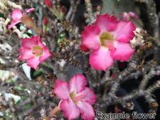 140 Adenium arabicum + Free certificate, Bonsai, caudiciform,Desert Rose