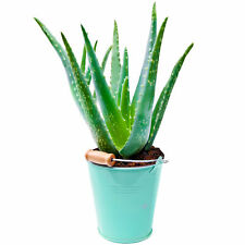 1 x Aloe Vera 25-35cm Potted Medicinal Indoor Plant Gift for Sale