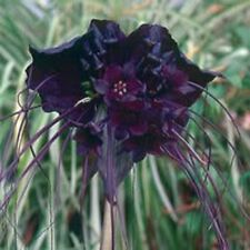 5 BLACK BAT FLOWER Tacca Chantrieri Cat's Whiskers Devil Flower Seeds *CombS/H