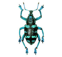 Eupholus linnei ONE REAL WEEVIL BEETLE BLUE GREEN INDONESIA