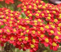 YARROW RED Achillea Millefolium Rubrum - 2,500 Bulk Seeds