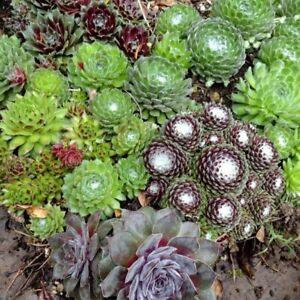 10 Sempervivum Steinrose Hauswurz Dachwurz Frosthart bis ca. minus 25°C - 1