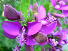 September bush - POLYGALA MYRTIFOLIA - 22 Seeds - Flowers