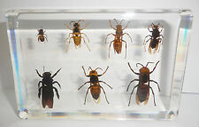 7 Seven Bee Wasp & Hornet Collection Set Clear Education Real Insect Specimen