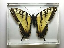 EASTERN TIGER SWALLOWTAIL. Real Butterfly embedded in clear resin