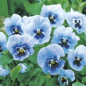 30 PANSY JOKER LIGHT BLUE F2 SEEDS Containers Borders Pots Flower SOW NOW