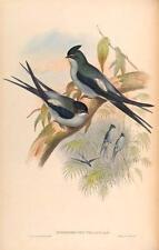 J GOULD reproduction imprimé oiseaux dendrochelidon wallacei des oiseaux de l'Asie. # 54