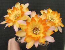 Ferienpreis: Echinopsis Chamaecereus Hybride Lincoln Gem