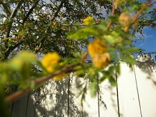 SweeT Acacia Famesiana Vachellia farnesiana yellow Flowers beautifully fragrant