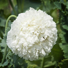 500 Seeds - Peony White Cloud Poppy - Papaver somniferum