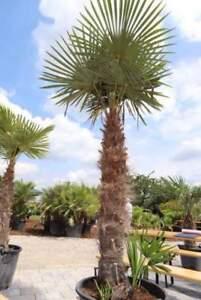 Trachycarpus fortunei Hanfpalme Palme Höhe 1,70 - 2,00m von LUKOS Winterhart -19