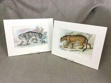 Antique Wild Animal Cat Prints Jaguar Snow leopard Cats Ca. 1896
