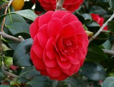 Camellia japonica , 1 live healthy plant