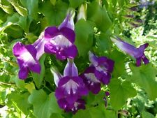MAURANDYA BARCLAYANA 100 flower seeds