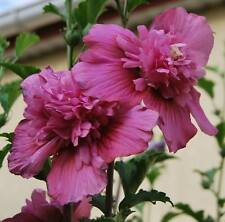 "Rose of Sharon, Hibiscus Syriacus, variété ""Lucy"", HARDY !!! 15 graines / seeds"