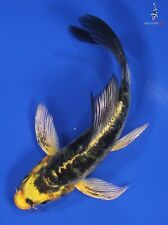 """New listing 4"""" Doitsu Kin Ki Bekko Butterfly Koi live fish nextdaykoi Ndk"""