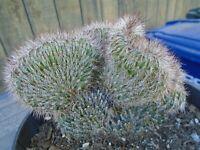 Stenocereus Hollianus Cristata Cactus Plant - Fully Rooted
