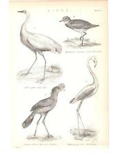 Antique Encyclopedia Print c1800s - Birds. Thick-Knee. Great Egret. Red Flamingo