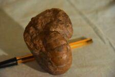 cenoceras aff.thiollieni 85 mm préparé 2faces toarcien de la Verpillière France