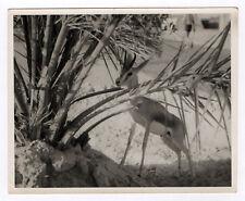PHOTO ANCIENNE Animal Gazelle Gazella Vers 1950 1970 Feuillage Portrait N&B