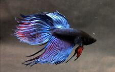 RARE!! Live Betta Fish : Male Veil Tail Fighting Betta Aggressive Blue (BIT039)