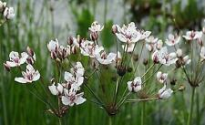 Flowering Rush 20 Seeds - Butomus - Aquatic