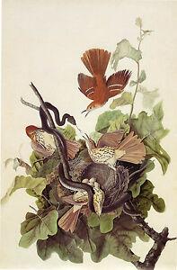 Audubon Reproductions: Watercolor Study - Brown Thrasher -  Fine Art Print