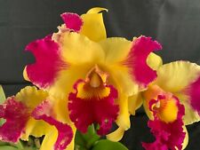 RON Cattleya Orchid Special Quality Div Rlc Village Chief Leer 'Tashing #3' 2479