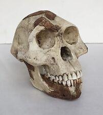 Lucy Australophitecus Afarensis  Skull Replica 1:1 size