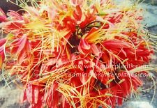 "Beautiful Flower 1 Bulb ""Eucrosia Bicolor"" Fresh Bulb+Free Phyto Very Rare @"