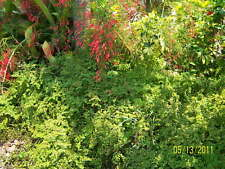 Artillery Fern Bush Plant low full green lacy Ground Cover - 10 Cuttings