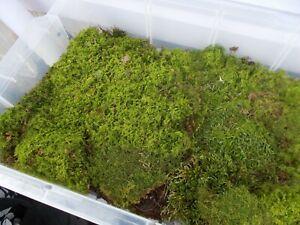 Sheet moss. For Kokedama Balls, animal habitat, Reptiles, Fairy gardens. SMALL.