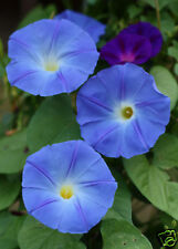 60 graines IPOMEE BLEUE HEAVENLY BLUE(Ipomoea Tricolor)G434 MORNING GLORY SEEDS