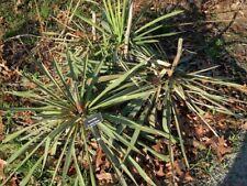 Yucca filifera - GIGANTE Yucca - 15 semi freschi