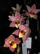 Cymbidium Unusual Australian Based Bunyip 'Precious memories' Orchid 68mm pot
