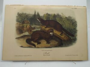 "Audubon Quadrupeds of North America Print Volume 1 1854  ""Mink"" Plate XXXIII"