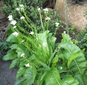 PLANT NOW!:FRESH Horseradish Root /Thong - Armoracia Rusticana: