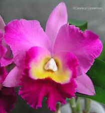 FRAGRANT! ~ Cattleya Orchid ~ Pot. Hawaiian Charisma 'Hawaii'