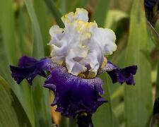 *Slovak Prince* Tall Bearded Iris. Freshly Dug, Combined Shipping: Feb/Mar