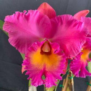 RON Cattleya Orchid Special Div Rlc. Brunswick Gem 'Coral' (4317)