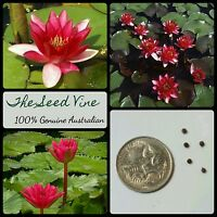 20+ RED WATER LILY SEEDS (Nymphaea pubescens 'Red') Aquatic Flower Ornamental