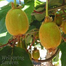 HARDY KIWI FRUIT Plant - Edible Fruit Vine Actinidia deliciosa Saanichton Female