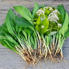 WILD GARLIC BULBS Freshly-Lifted Spring Flowering Plant With Snowdrop & Bluebell