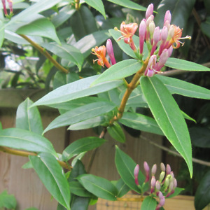 Lonicera Henryi - Evergreen Flowering Climber