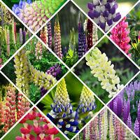 100 Mixed Russell Lupine Seeds Lupinus Polyphyllus Flower Garden Decor